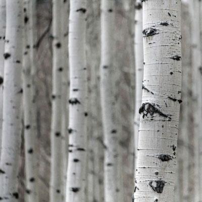 types de bois bouleau